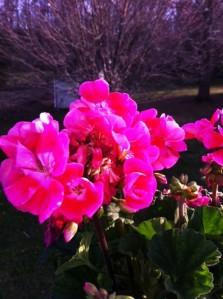 geraniums - Copy